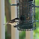 Chickadee by Robin Black