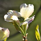 Dogwood Bloom by Robin Lee
