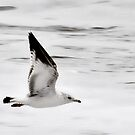 Gull in Flight by Robin Black