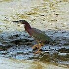 Green Heron by Cynthia48