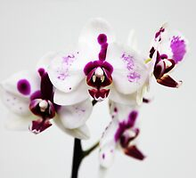 White pink orchid by Rossen Stanoev