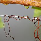grape vine with rain drops  by janfoster