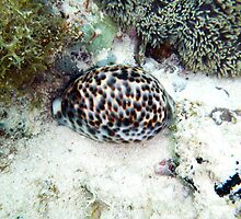 COWRIE SHELL by springs
