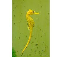 Seahorse, Hippocampus, with Babies Photographic Print