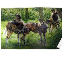 Lycaon pictus (painted dog) Poster