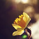 Narcissus in Sunset  by adriangeronimo
