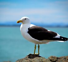Black Backed Gull by Deborah Clearwater