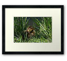 Mallard Duck Duckling Framed Print