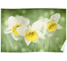 Enchanted Spring Daffodils Poster