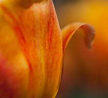 Tulip Bends by Karol Livote