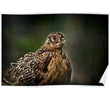 Lady Pheasant Poster
