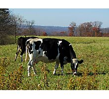 Grazing Cows Photographic Print