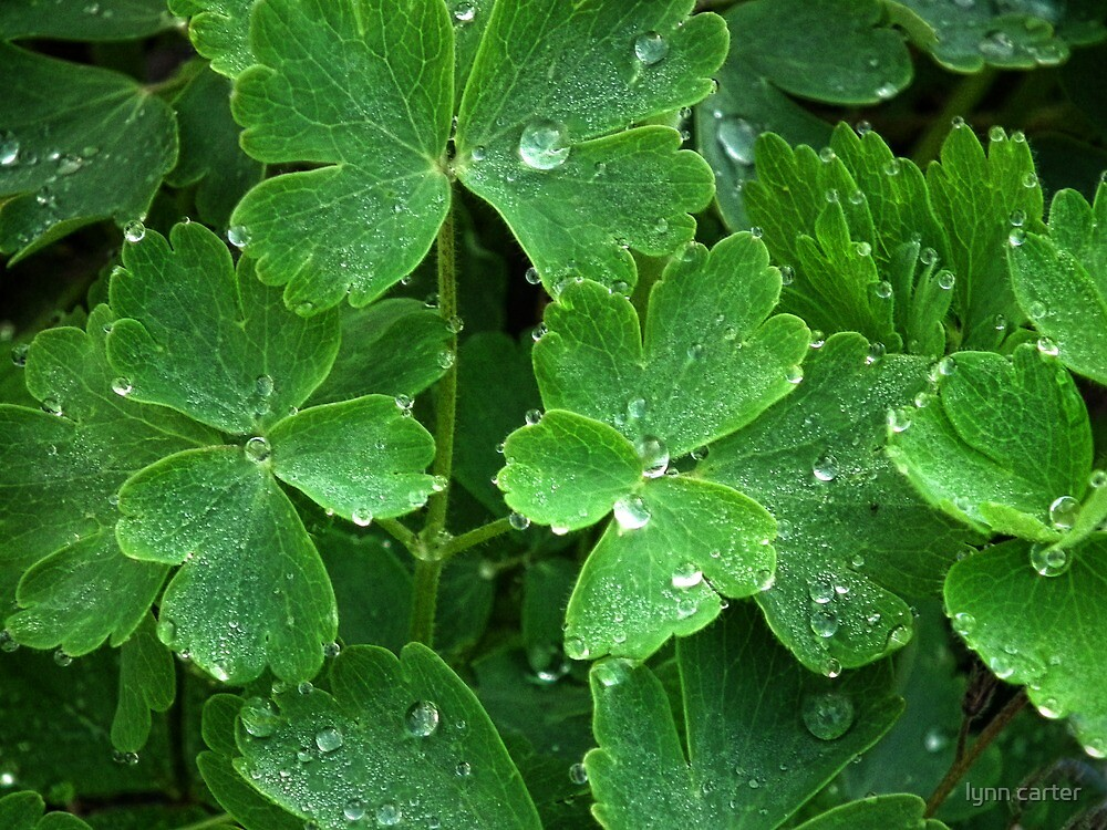 Pretty Raindrops On Green Leaves Of Aquiliga by lynn carter