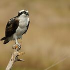 Osprey by Tom Dunkerton