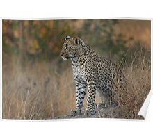 Young Leopard Poster
