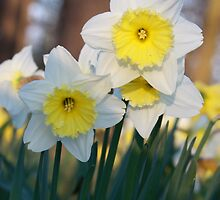 Daffodils by Jane Horton