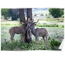 Young male and female Kudu Poster
