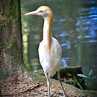 Cattle Egret by Bevlea Ross