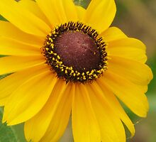 Brown-eyed Susan by lorilee