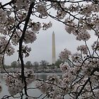 Cherry Blossoms in Washington DC by Kelly Morris