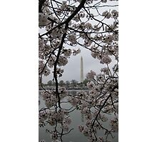 Cherry Blossoms in Washington DC Photographic Print
