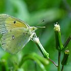 The Yellow Butterfly by vigor