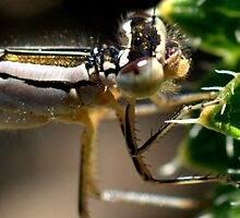 DAMSELFLY by Betsy  Seeton