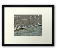 Painted Turtle Haul Out - Chrysemys picta Framed Print