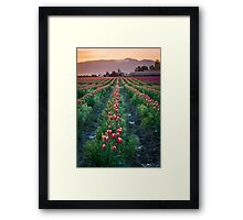 Skagit Tulips at Dawn Framed Print
