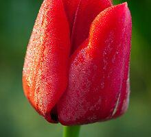 Dewey Tulip by Inge Johnsson