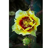 Black-Spined Prickly Pear  Photographic Print