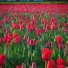 Mount Vernon Tulips by Inge Johnsson