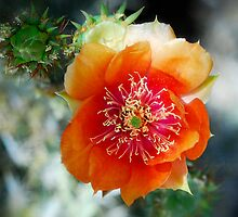Prickly Pear Blossom  by Saija  Lehtonen