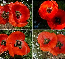Collage of Flander's Poppies by alycanon
