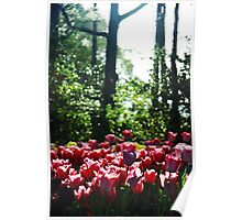 Pink Tulips After the Rain Poster