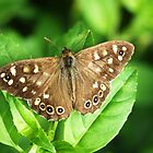 Speckled Wood Butterfly by redown