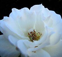 White Rose by aprilann