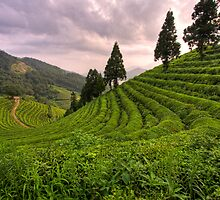Boseong Green Tea Fields, South Korea by sonofcoco