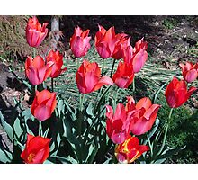 Temple Beauty tulips 2 Photographic Print
