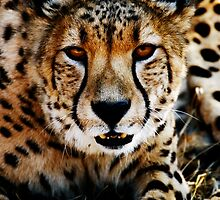 Close-up Portrait of a Cheetah by Michael Deeble