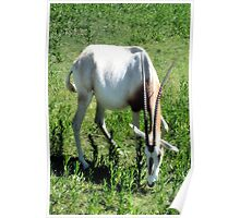 Scimitar Horned Oryx  ( Wildlife Preserve ) Poster