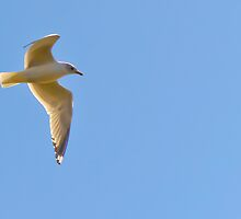 Seagull by Mark Fendrick