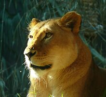 Lioness #1 by PollyBrown