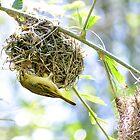 Hanging Under Nest by Mark Fendrick