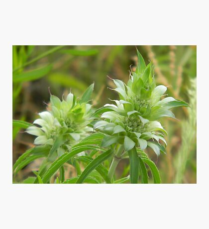 White or Green Bee Balm Photographic Print