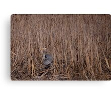 Blue Heron Hiding in the reeds Canvas Print