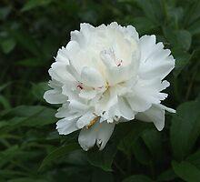 White Peony2 by Rick  Friedle