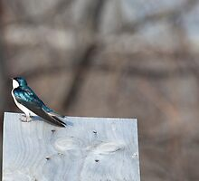 Tree Swallow by Richard Lee
