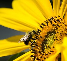 Yellow Sunflower and Bee by Christina Rollo