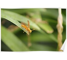 A Yellow Paper Wasp (Polistes Flavus) in Fiji. Poster